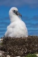 Australia, Tasmania, Bass Strait Albatross chick Fine-Art Print