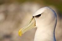Australia, Tasmania, Bass Strait, Albatross bird head Fine-Art Print