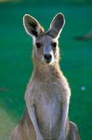 Australia, Yamba Golf Course, Eastern Grey Kangaroo Fine-Art Print