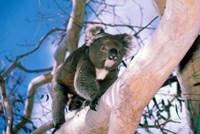 Australia, Kangaroo Isl, Koala bear, eucalypytus tree Fine-Art Print