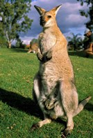 Kangaroo, Queensland, Australia Fine-Art Print