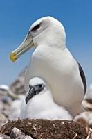 Australia, Tasmania, Bass Strait Shy albatross with chick Fine-Art Print