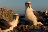 Australia, Tasmania, Bass Strait Albatross pair Fine-Art Print
