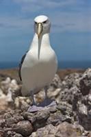 Australia, Tasmania, Bass Strait Shy albatross Fine-Art Print