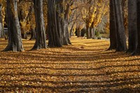 Poplar Trees in Autumn, Lake Wanaka, Otago, South Island, New Zealand Fine-Art Print