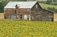 Sunflowers and Old Barn, near Oamaru, North Otago, South Island, New Zealand Fine-Art Print