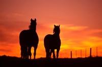 Horses at Sunset near Ranfurly, Maniototo, Central Otago Fine-Art Print