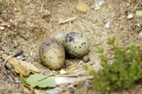 Black-Fronted Tern eggs, South Island, New Zealand Fine-Art Print