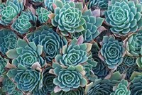 Echeveria Elegans Succulents, New Zealand Fine-Art Print