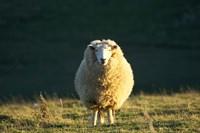 Sheep, Farm animal, Dunedin, South Island, New Zealand Fine-Art Print