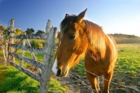 New Zealand, South Island, Horse ranch, farm animal Fine-Art Print