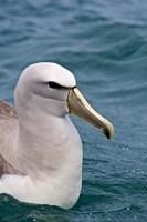 New Zealand, South Island, Salvin's Albatross Fine-Art Print