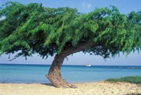 Kwihi Tree,  Aruba, Caribbean Fine-Art Print