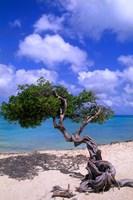 Lone Divi Tree, Aruba, Caribbean Fine-Art Print