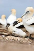 Gannet tropical birds, Cape Kidnappers New Zealand Fine-Art Print