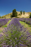 Lavender Farm, near Cromwell, Central Otago, South Island, New Zealand (vertical) Fine-Art Print