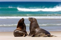 New Zealand, South Island, Hooker's Sea Lion Fine-Art Print