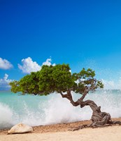 Divi Divi Tree, Eagle Beach, Aruba, Caribbean Fine-Art Print