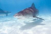 Tiger Sharks, Northern Bahamas Fine-Art Print