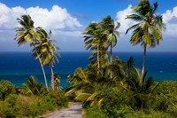 Palm trees, Barbados at Bathsheba Fine-Art Print