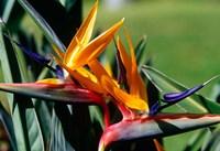 Bird of Paradise in Bermuda Botanical Gardens, Caribbean Fine-Art Print