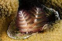 Marine life, Christmas Tree Worm, Star Coral, Bonaire Fine-Art Print