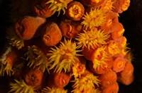 Orange Cup Coral, Netherlands Antilles Fine-Art Print