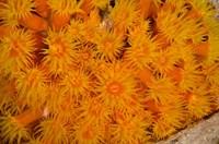 Orange Cup Coral marine life, Netherlands Antilles Fine-Art Print
