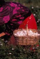 Gypsies Pick Jasmine Flowers, Grasse, France Fine-Art Print