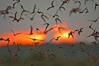 Mexican Free-Tailed Bats, Concan, Texas, USA Fine-Art Print