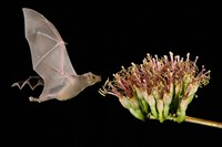 Lesser Long-Nosed Bat in Flight Feeding on Agave Blossom, Tuscon, Arizona Fine-Art Print