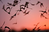 Mexican Free-tailed Bats emerging from Frio Bat Cave, Concan, Texas, USA Fine-Art Print
