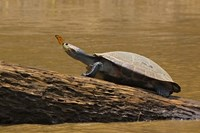 Turtle Atop Rock with Butterfly on its Nose, Madre de Dios, Amazon River Basin, Peru Fine-Art Print