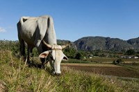 Ox Grazing, Farm animals, Vinales, Cuba Fine-Art Print