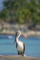 Dominican Republic, Bayahibe, Pelican bird Fine-Art Print