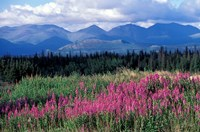 Fireweed Blooms near Kluane National Park, Yukon, Canada Fine-Art Print
