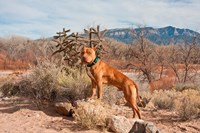 American Pitt Bull Terrier dog, New Mexico Fine-Art Print