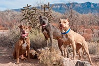 Three Pitt Bull Terrier dog, New Mexico Fine-Art Print