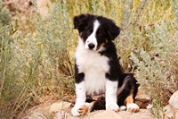 Border Collie puppy dog Fine-Art Print