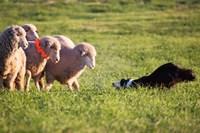 Purebred Border collie dog and Merino sheep Fine-Art Print