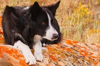 Purebred Border Collie dog on moss rock Fine-Art Print