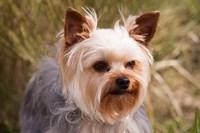 Purebred Yorkshire Terrier Dog Fine-Art Print