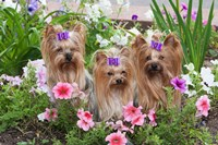 Purebred Yorkshire Terrier Dog in flowers Fine-Art Print