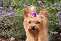 Purebred Yorkshire Terrier dog, purple bow Fine-Art Print