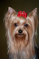 Show Yorkshire Terrier Dog with red bow Fine-Art Print