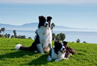Two Border Collie dogs Fine-Art Print