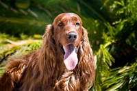 An Irish Setter lying surrounded by greenery Fine-Art Print