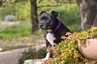 Staffordshire Bull Terrier dog in a garden Fine-Art Print