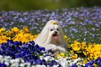 USA, California Maltese lying in flowers with yellow bow Fine-Art Print