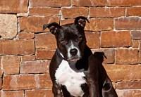 American Staffordshire Terrier dog Fine-Art Print